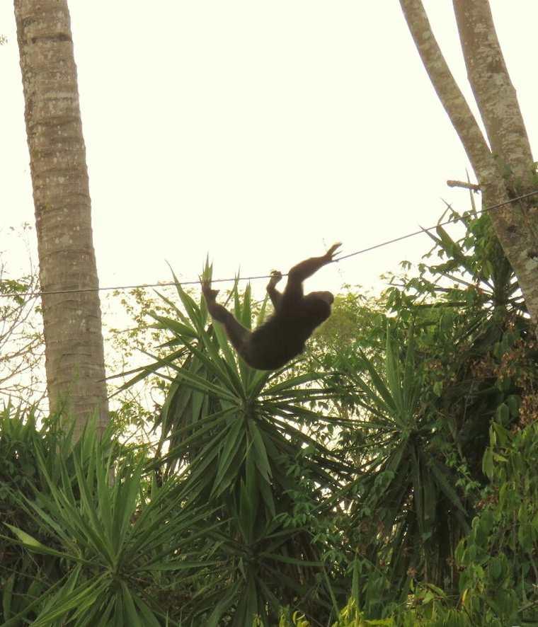 Este mono cuelga de los cables de electricidad en su huida. (Foto Prensa Libre: Rigoberto Escobar)