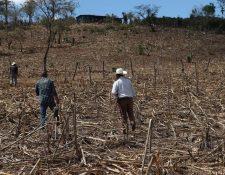 Agriculturoes guatemaltecos fueron afectados por la canícula prolongada de este año. (Foto Prensa Libre: Hemeroteca PL)