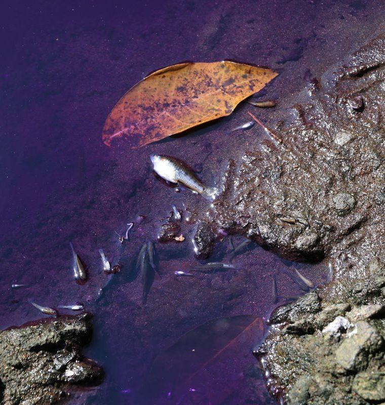 Los afectados dijeron que varios peces han muerto por los químicos vertidos en el afluente. (Foto Prensa Libre: Enrique Paredes)