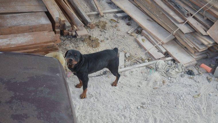Rocky permanecía amarrado en el aserradero, lugar donde atacó a la niña. (Foto Prensa Libre: Oswaldo Cardona)