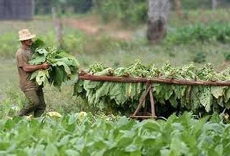 Cultivadores de tabaco durante la cosecha en Cuba.