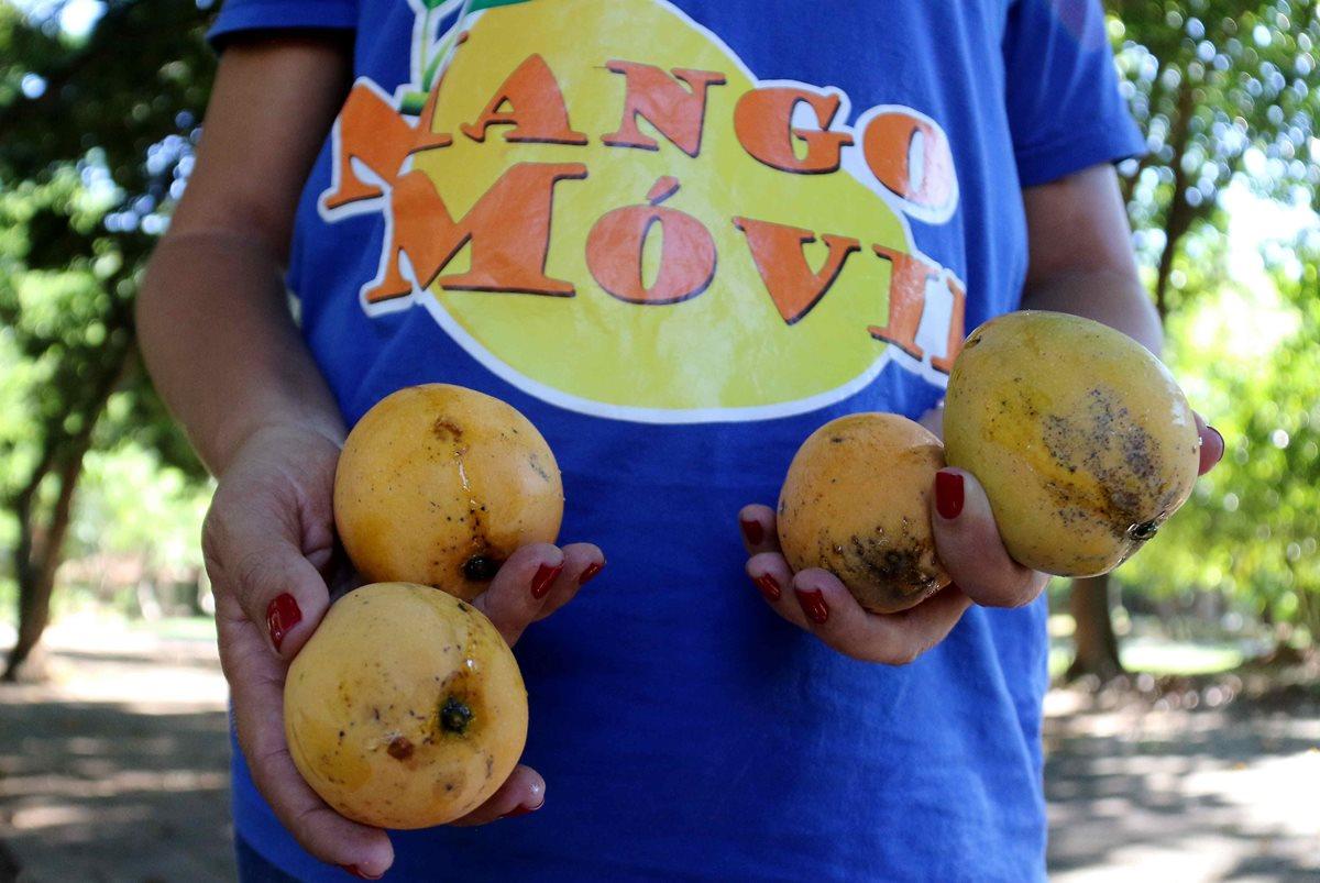 La novedad de este año, es que buena parte de los mangos recogidos por el servicio municipal se destinarán a la elaboración de cerveza. (Foto Prensa Libre: EFE)