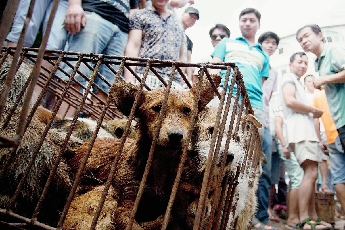 Los defensores de los animales, acallados por el festival chino de carne de perro