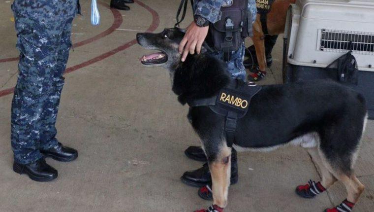 Rambo era un pastor alemán que fue asignado para prestar servicio en la Subdirección General de Análisis e Información Antinarcótica de la PNC. (Foto Prensa Libre: PNC Guatemala)