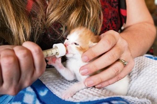 La mamá nodriza tiene que alimentar al gato colocándolo en la posición  como se ve en la foto. Este no debe estar boca arriba porque la leche se  le puede ir a sus pulmones.