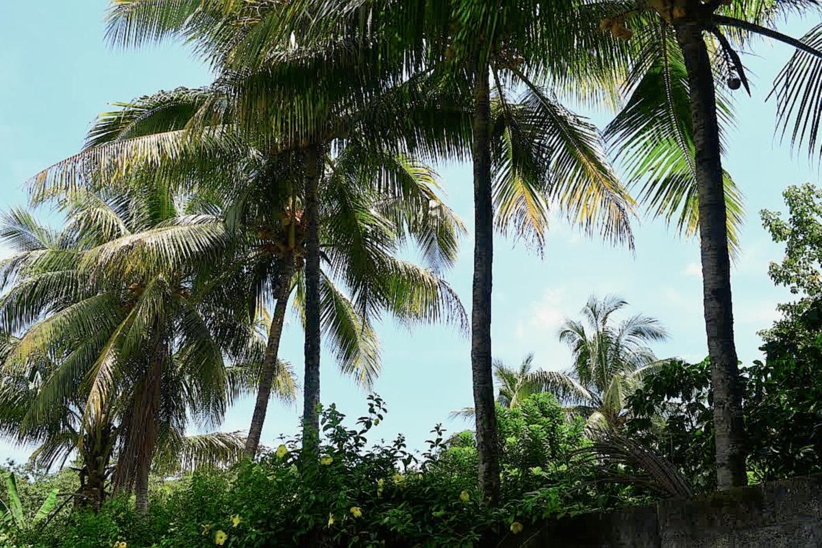 Vecinos afirman que árbol de coco está encantado
