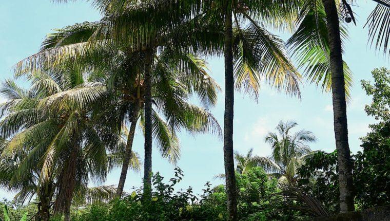 Árbol de coco - segundo de derecha a izquierda - que supuestamente está encantado, en El Asintal, Retalhuleu. (Foto Prensa Libre: Jorge Tizol)