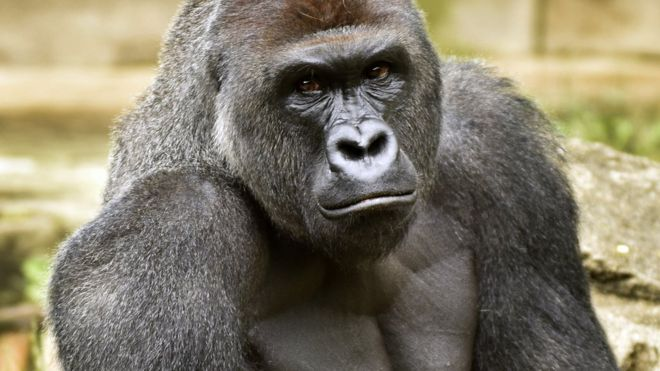 La filmación que hizo Kim O'Connor del gorila Harambe fue vista en todo el mundo... por un precio. AP