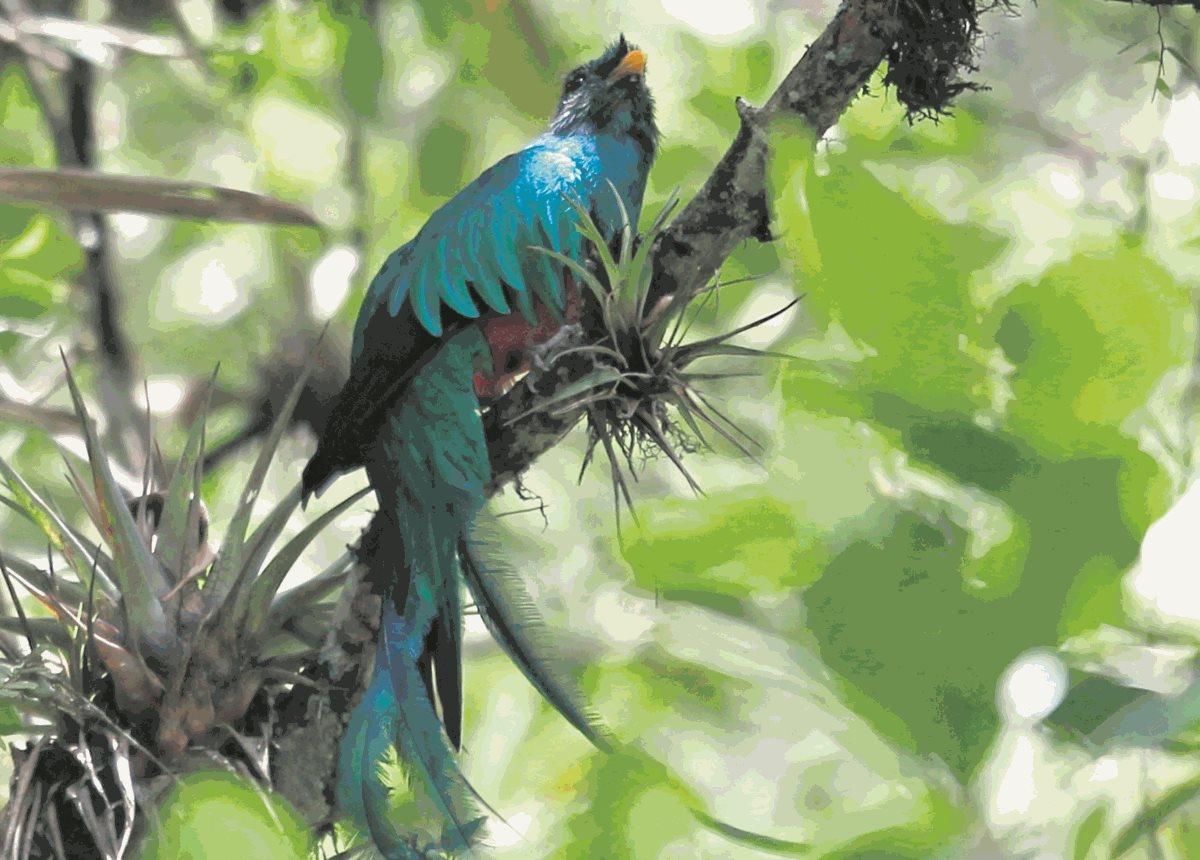 Hábitat Del Quetzal Amenazado Por Tala Y Avance De Frontera Agrícola Prensa Libre