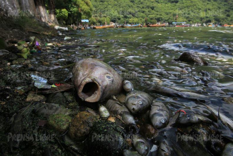 Cientos de peces aparecieron muertos y comenzaron a acumularse durante el fin de semana en las playas de Amatitlán. (Foto Prensa Libre: Esbin García)