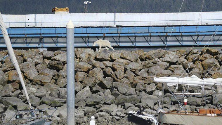 La cabra se lanzó al mar al notar la presencia de muchas personas que intentaban fotografiarla. (Foto Prensa Libre: AP).