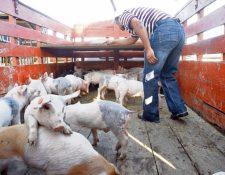 Trasiego desmedido de cerdos impacta a la porcicultura nacional y causa competencia desleal.
