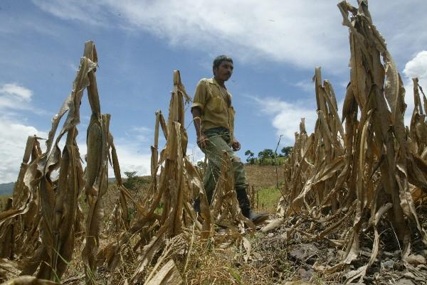 El déficit de lluvia o largas temporadas secas afectan las cosechas de granos básicos en el Corredor Seco. (Foto, Prensa Libre: Hemeroteca PL)