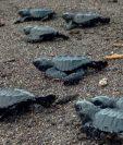 Tortugas son liberadas para conservar la especia. (Foto Prensa Libre: Cortesía Bestours Guatemala).