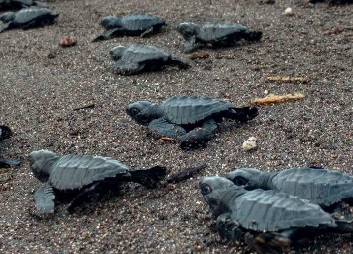 Invitan a liberar tortugas marinas en Monterrico