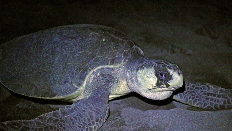 Las tortugas marinas pueden medir más de dos metros de largo. (Foto Prensa Libre: Cortesía Marvin Grijalva)