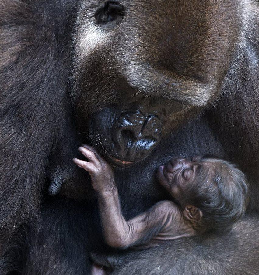 Incluyen al gorila en lista de especies en peligro crítico