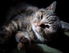 Dos gatos en Nueva York fueron diagnosticados con coronavirus luego de que fueron contagiados por humanos. (Foto: Prensa Libre: Hemeroteca)