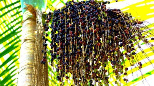 El açaí crece en las palmeras del Amazonas. GETTY