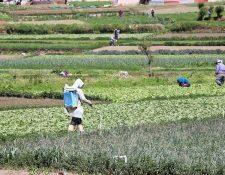 El sector agrícola afronta diversos desafíos en el país que pueden impactar sus niveles de producción y exportación, advierte Agexport. (Foto, Prensa Libre: Hemeroteca PL).