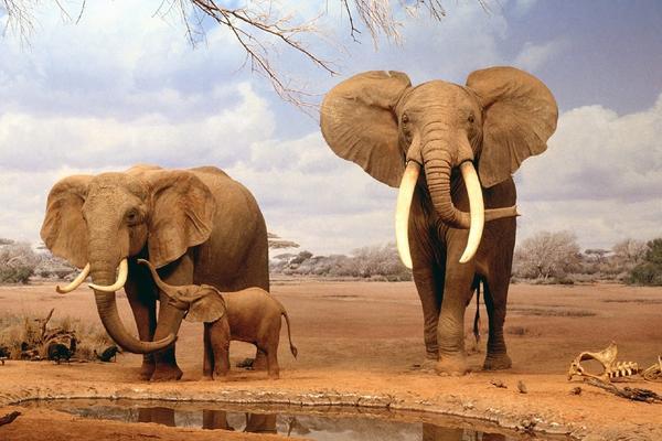 Los elefantes son víctimas de la caza furtiva.