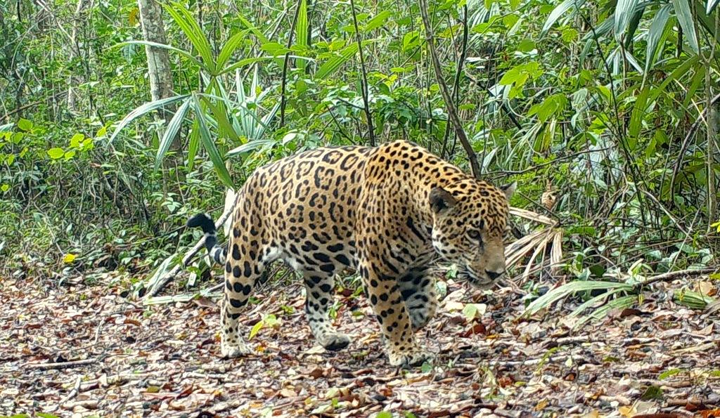 Ofrecen 10 mil dólares beliceños por responsables de haber matado a dos jaguares en aquel país