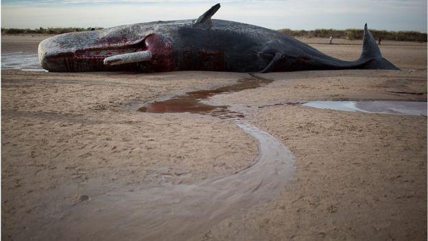 A menudo, las ballenas enfermas terminan varadas en las playas, como este cachalote en Nueva Gales del Sur. GETTY IMAGES