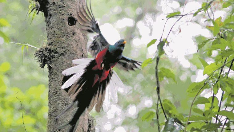 El avistamiento del quetzal es el principal atractivo que ofrecen los vecinos de Loma Linda. (Foto Prensa Libre: Rolando Miranda)