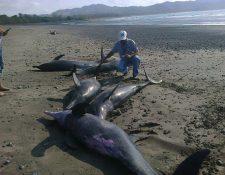 Un funcionario de Recursos Acuáticos examina delfines muertos.(EFE).