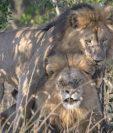 Leones captados teniendo sexo en una reserva natural de Kenia. (Foto Prensa Libre: Nairobi News).