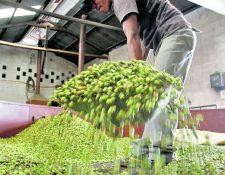 Las ventas de cardamomo reportan un crecimiento del 52% a septiembre último y las exportaciones suman US$385 millones. (Foto Prensa Libre: Hemeroteca)