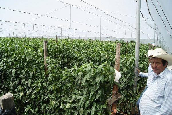 plagas estropean cultivos  en invernaderos,  en Baja Verapaz.