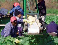 Cientos de guatemaltecos laboran en fincas en Estados Unidos. (Foto Prensa Libre: Hemeroteca PL)
