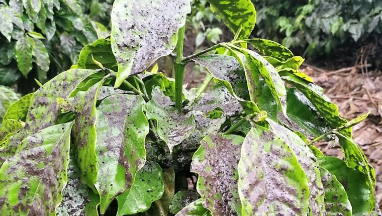 Anacafé estima que las pérdidas en las plantaciones representarán al 1.27% de la producción anual de café. (Foto Prensa Libre: Anacafé)