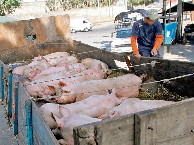 Colocarán chip de localización a cerdos para evitar contrabando