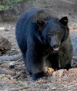 La temporada de caza de osos negros fue reabierta por primera vez hace 21 años en medio de una polémica en Florida.(Foto Prensa Libre: AFP).