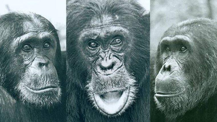 La elección de Humphrey como macho alfa generó tensión en la comunidad de chimpancés del Parque Nacional de Gombe con dos rivales, Charlie y Hugh. GEZA TELEKI