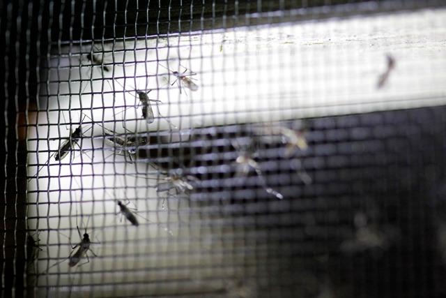 Los zancudos Aedes aegypti y Aedes albopictus son transmisores del virus zika, chikungunya y dengue. (Foto Prensa Libre: Hemeroteca PL)