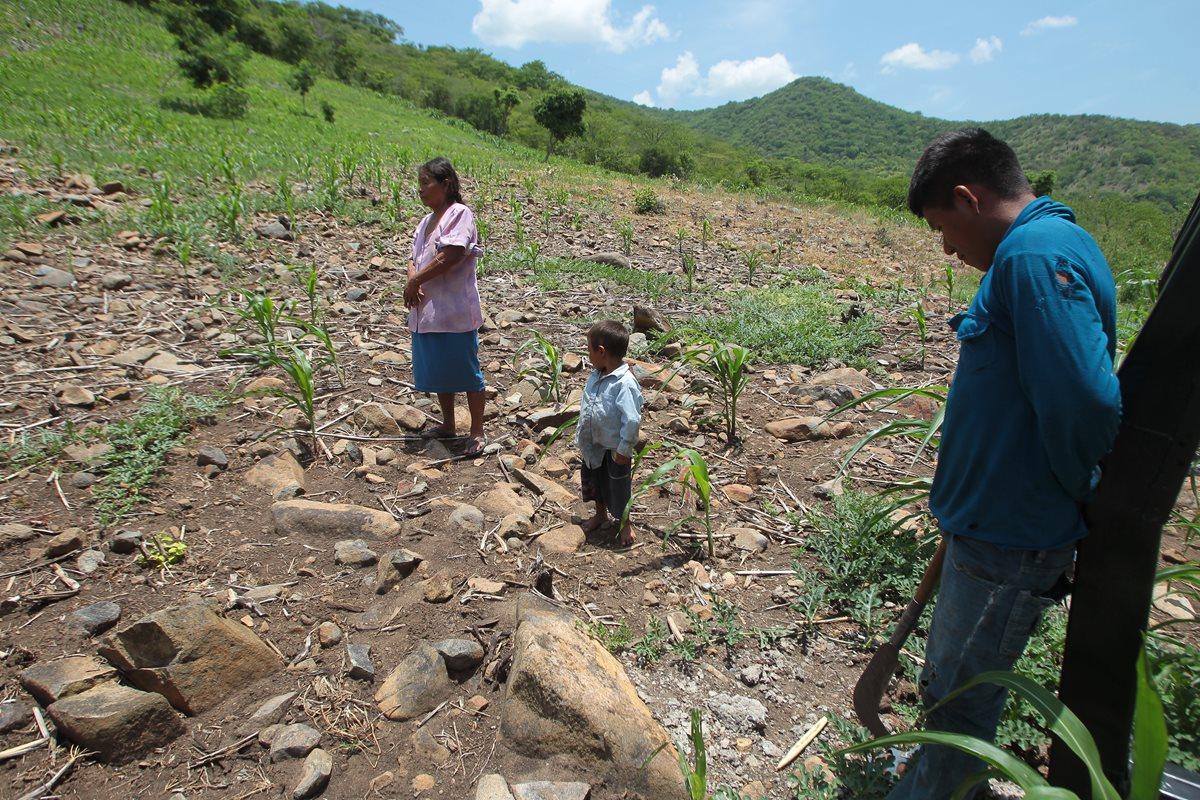 La falta de lluvia ha dañado cultivos de maíz y frijol de 430 comunidades. (Foto Prensa Libre: Hemeroteca PL)