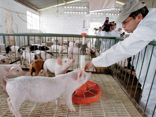 Guatemala a un paso de volver a exportar cerdos