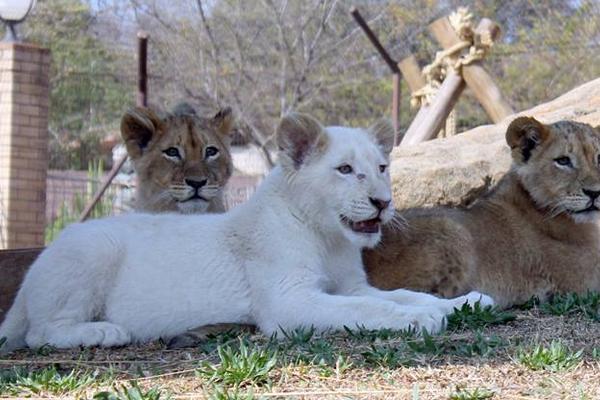 Zoológico sueco mató a nueve leones cachorros por falta de espacio