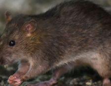 Un hombre de 56 años ha sido el primer caso conocido de hepatitis E de rata en humanos. (GETTY IMAGES)