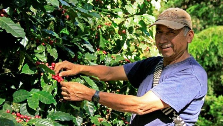 Los caficultores esperan primeras cosechas de variedad Anacafé 14, híbrido surgido en Chiquimula. (Foto Prensa Libre: Cortesía Anacafé)