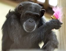 Una Chimpancé se entretiene con un muñeco en un santuario de Washington. (Foto Prensa Libre: AP).