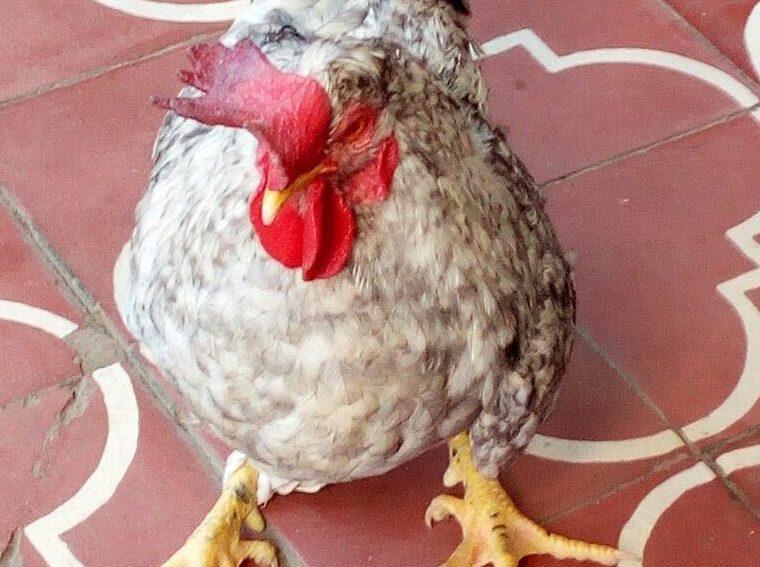 El gallo fue robado del corral de la Iglesia Nazareno, barrio Santo Tomás, Santa Cruz Verapaz. (Foto Prensa Libre: Eduardo Sam)