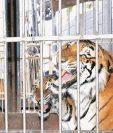 Un tigre atacó y le causó la muerte a un cuidador de un zoológico en China. (Foto HemerotecaPL)