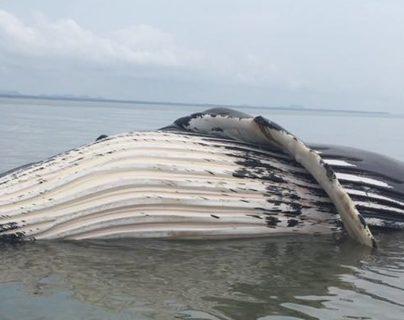 Muere ballena jorobada avistada en la Bahía de Amatique