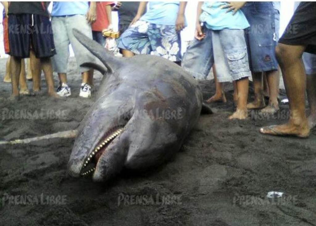 Pobladores localizan cadáver de delfín en playa de Champerico