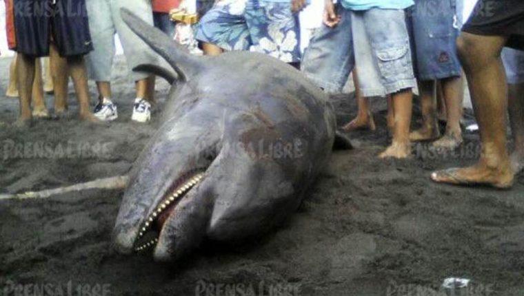 Delfín que fue localizado sin vida en Champerico, Retalhuleu. (Foto Prensa Libre: Jorte Tizol).