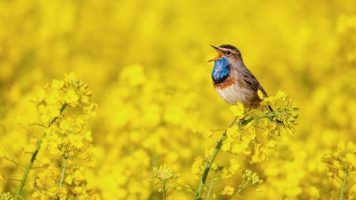 Si no tienes pájaros cerca, prueba a escuchar una grabación (Foto Prensa Libre: GETTY IMAGES).